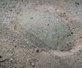 Flounder-Fish-6319