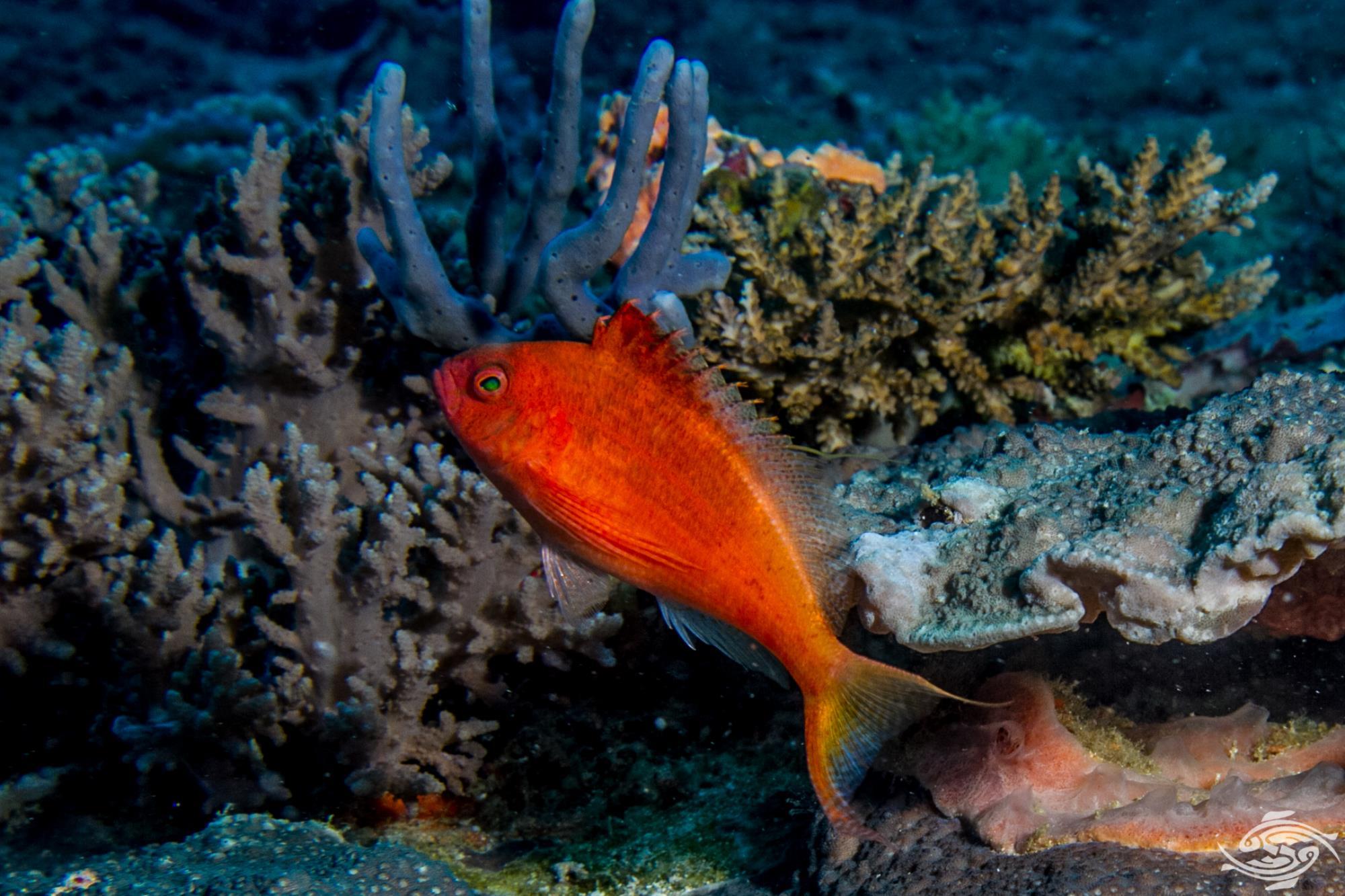 swallowtail hawkfish, Cyprinocirrhites polyactis