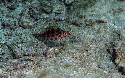 spotted hawkfish, Cirrhitichthys aprinus