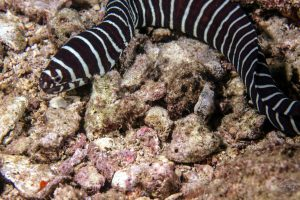 zebra moray, Gymnomuraena zebra, a species of moray eel in the family Muraenidae
