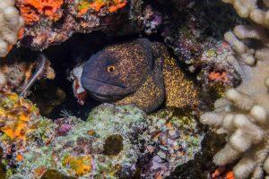 yellow edged moray eel (Gymnothorax flavimarginatus)