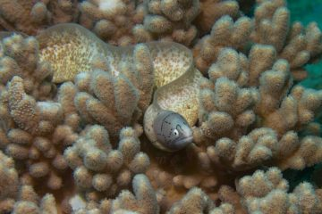 geometric moray (Gymnothorax griseus)