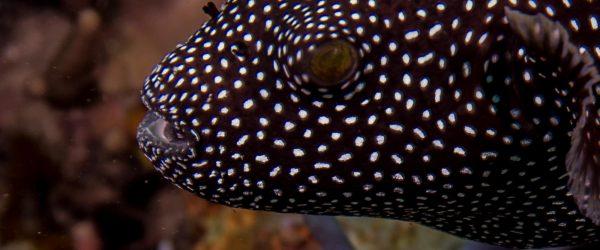 Arothron meleagris, guineafowl pufferfish or golden pufferfish