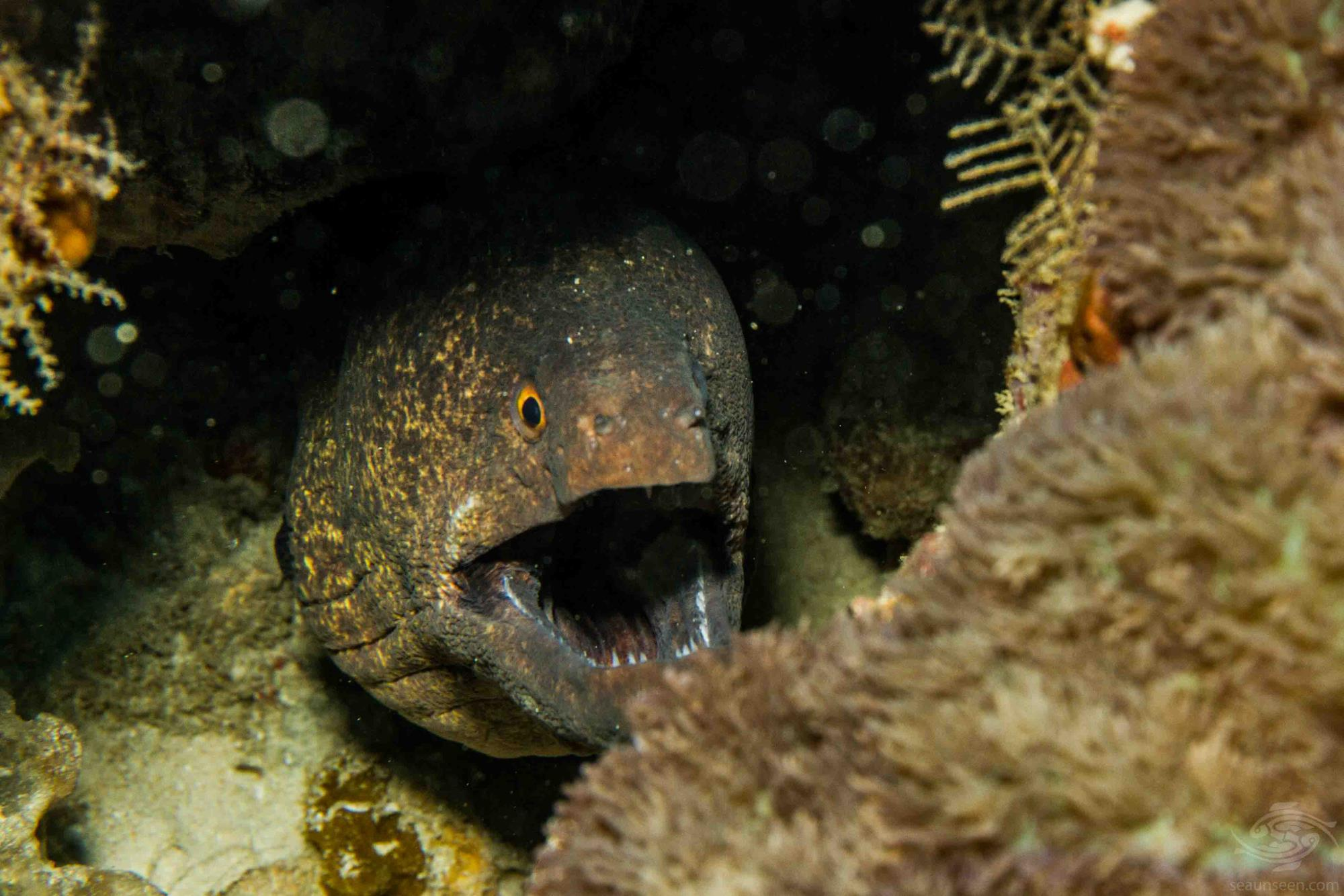 yellow-edged moray eel (Gymnothorax flavimarginatus)