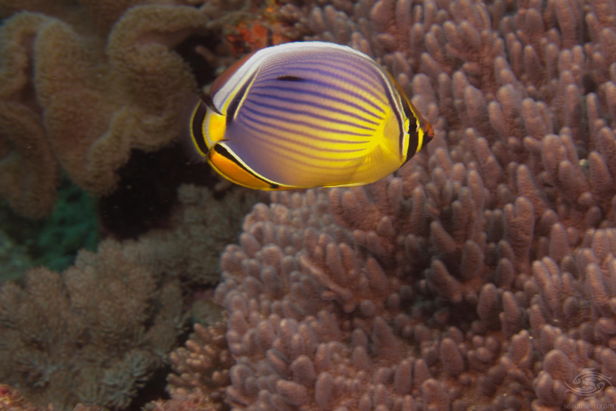 Melon Butterflyfish (Chaetodon Trifaciatus)