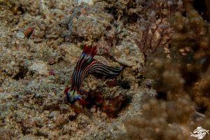 Nembrotha aurea sea slug, a dorid nudibranch, a marine gastropod mollusk in the family Polyceridae.
