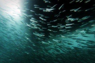 Silver-Fish