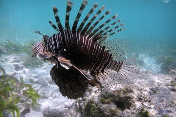 Lionfish in Waters of Mafia Island 1024 x 768