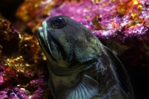 Giant Jawfish