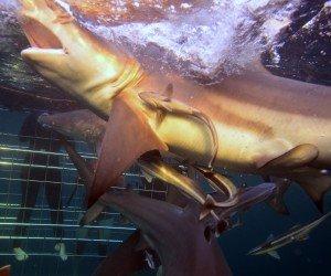 Blacktip Sharks Feeding in Aliwal Shoal