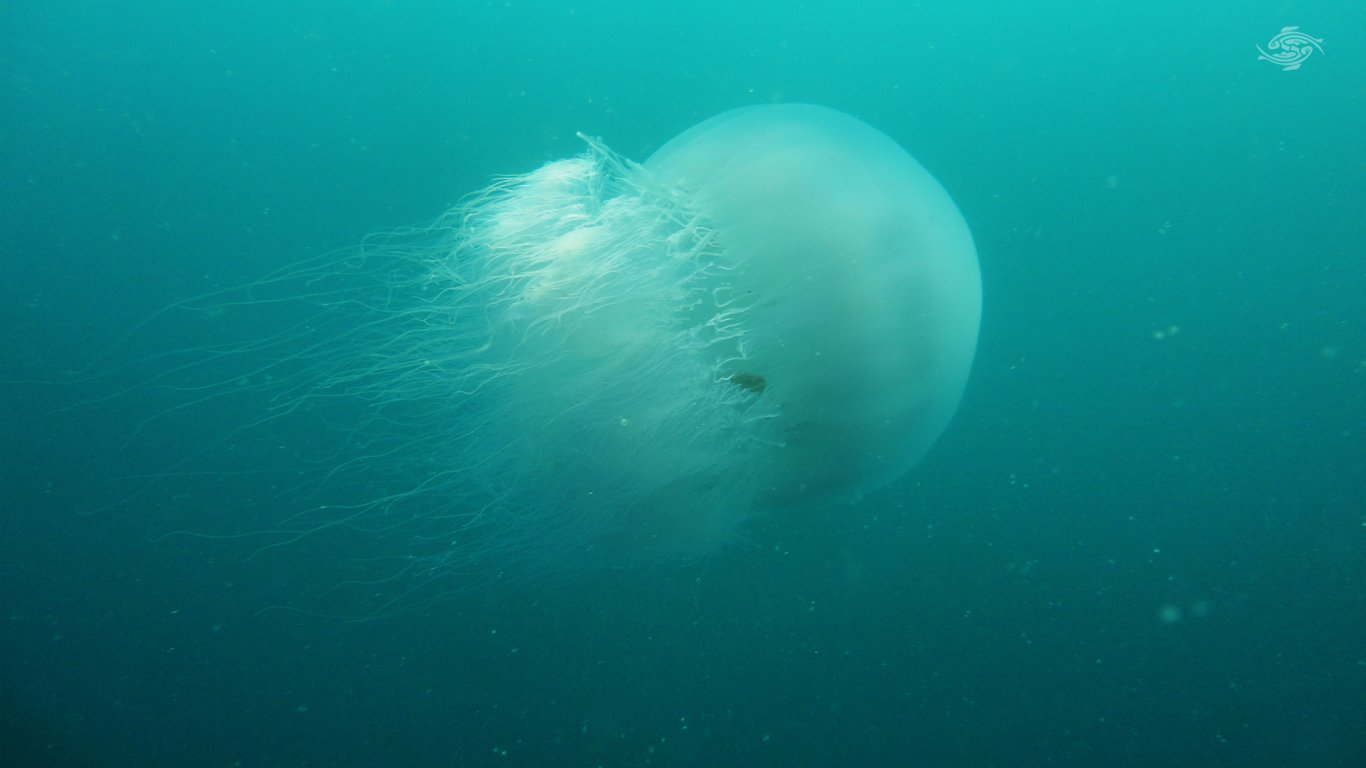 Sea nettle jellyfish seen in NC Neuse Pamlico rivers
