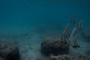 Longfin Batfish Platex Teira