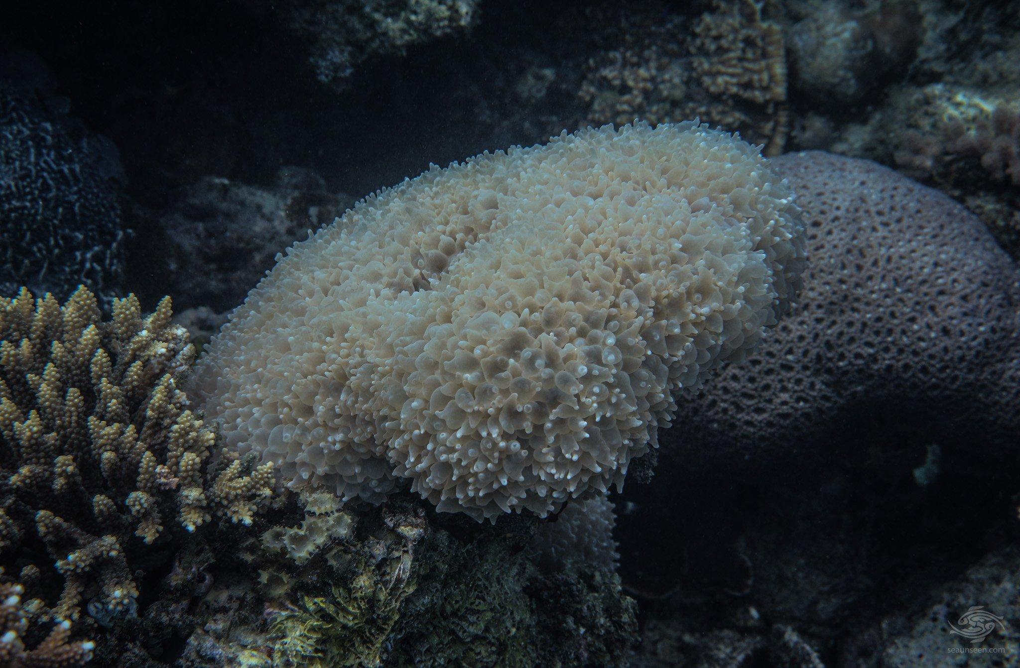 bubble coral (Plerogyra sinuosa)