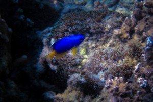 Caerulean Damsel Fish