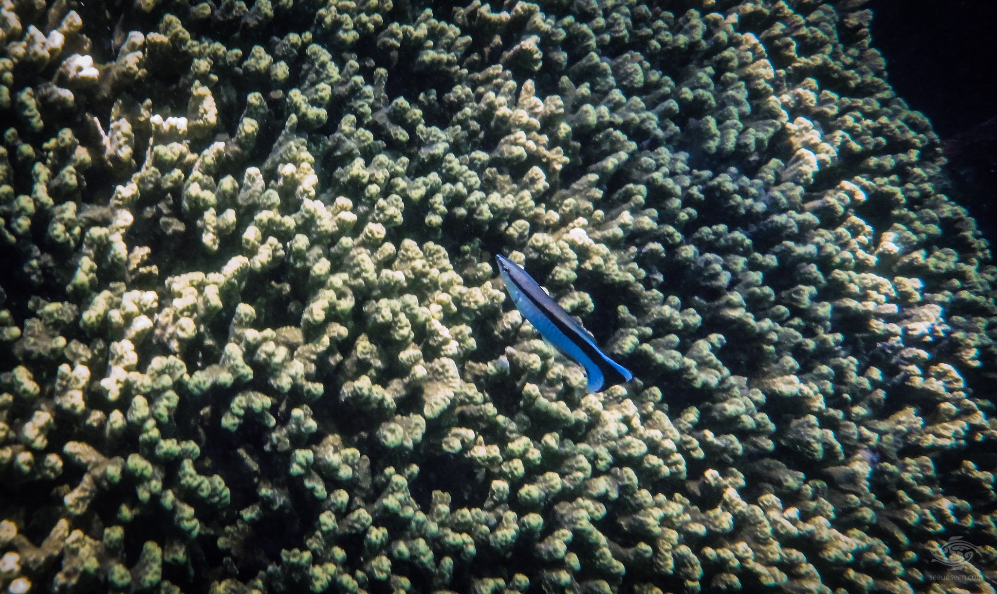 Cleaner Wrasse (Labroides dimidiatus)
