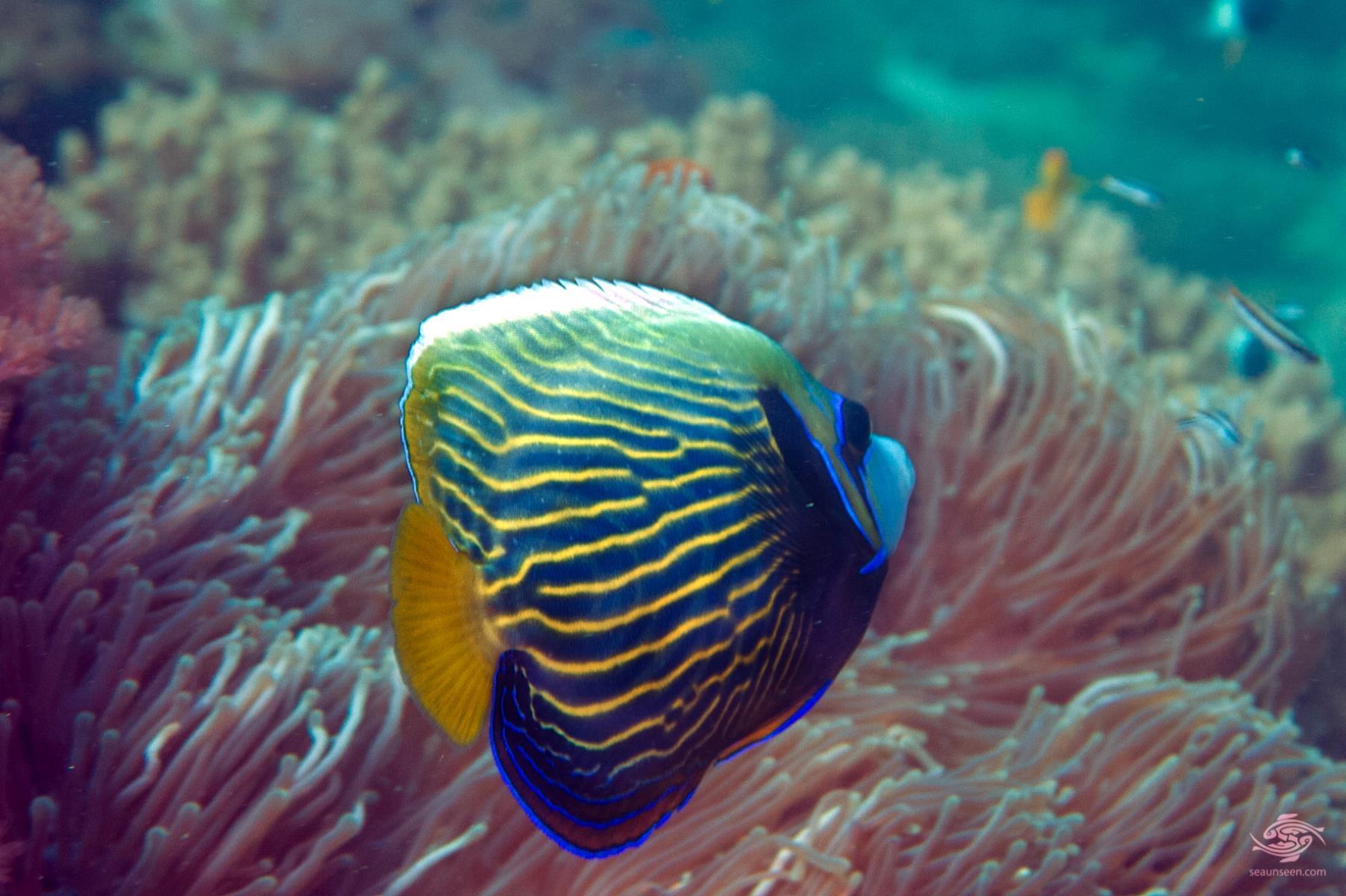 emperor angelfish changing - photo #41