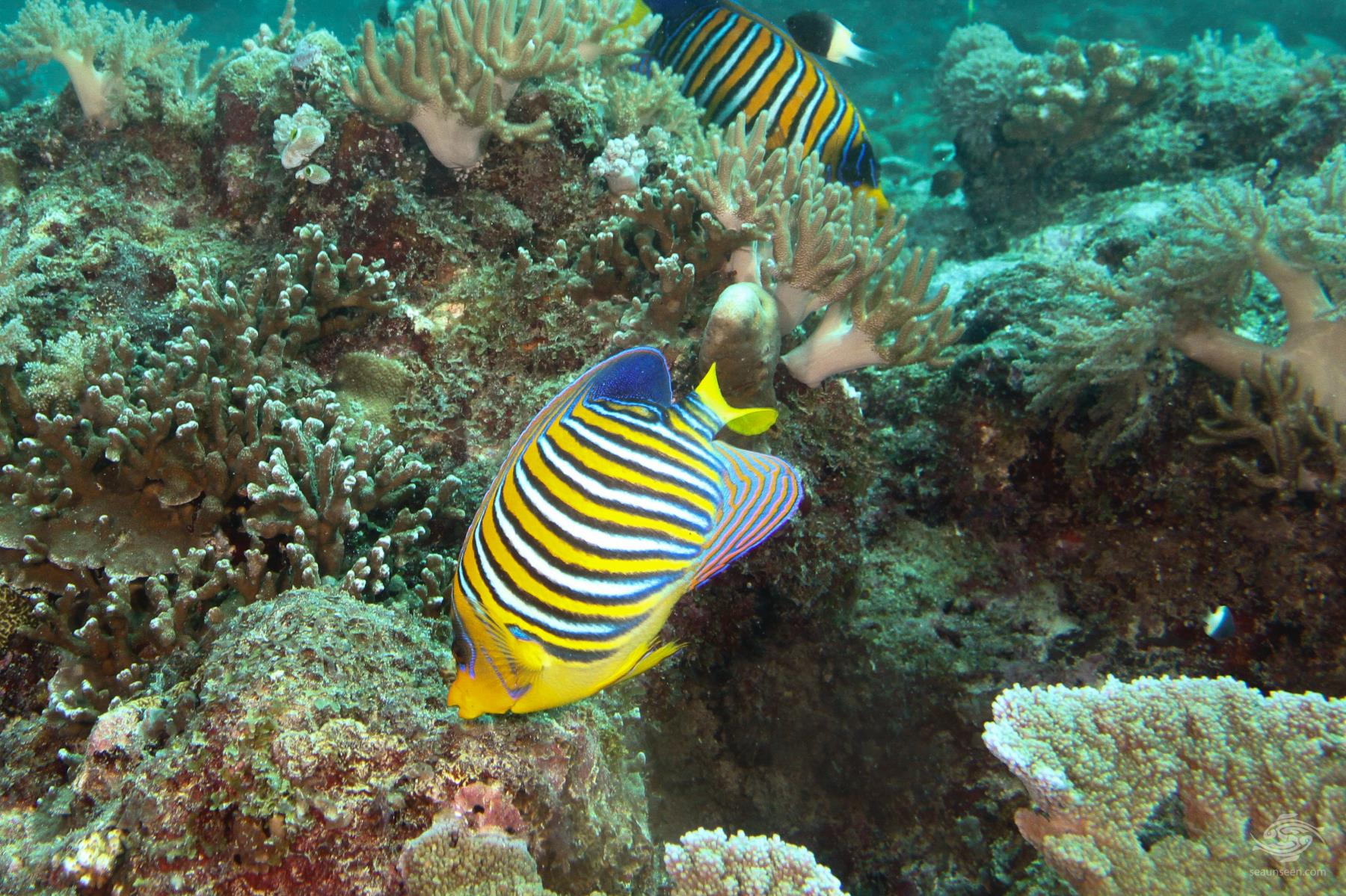Regal or Royal Angelfish Pygoplites diacanthus