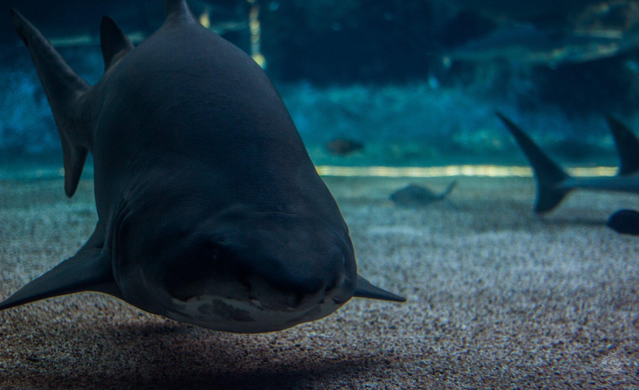 Ragged Tooth Shark