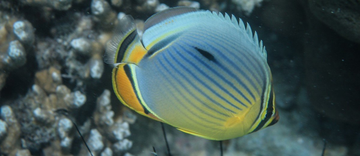 A melon butterflyfish (Chaetodon Trifaciatus) on a coral reef