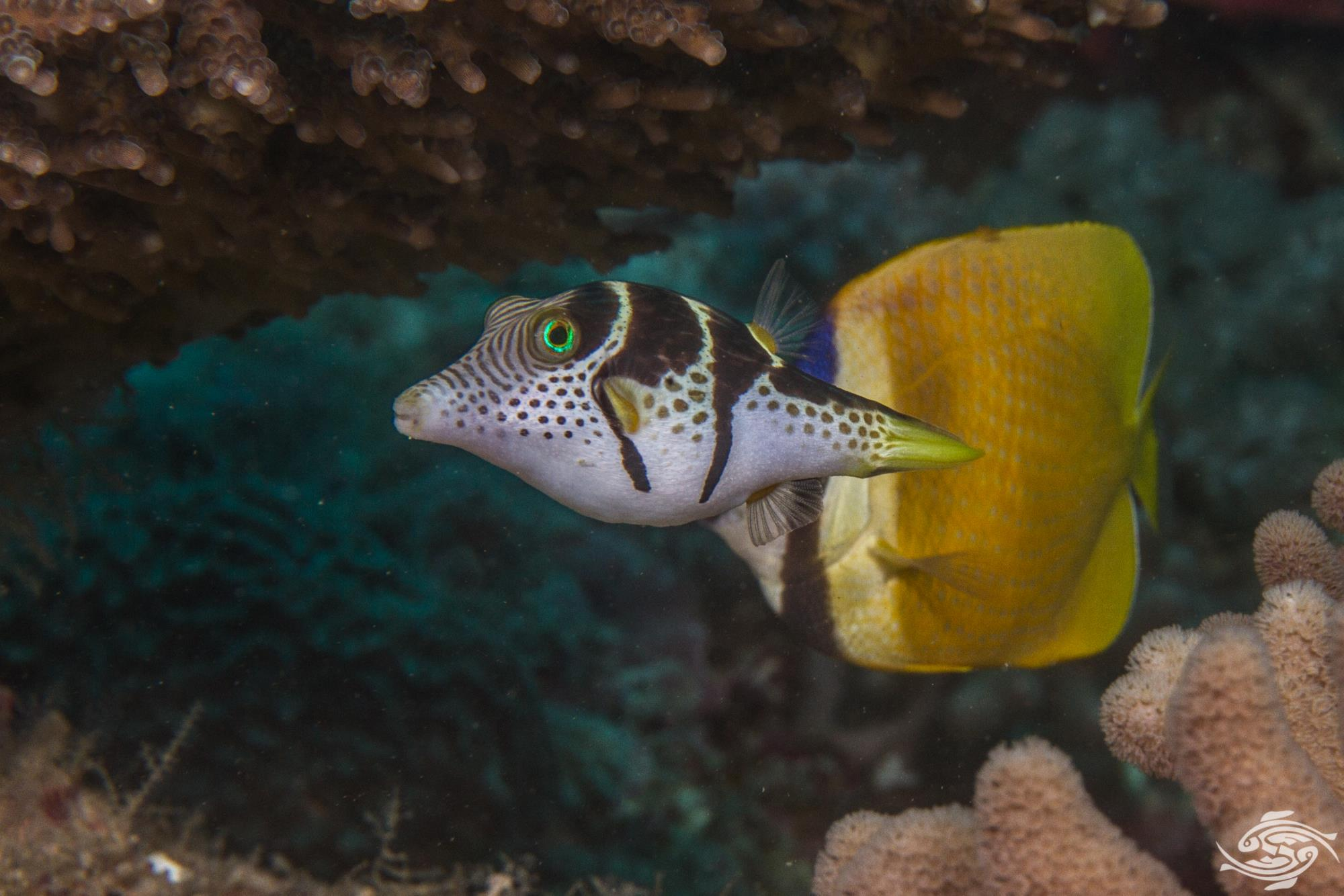 black saddled toby (Canthigaster Valentini) also known as the saddled toby andvalentini's sharp nose puffer,