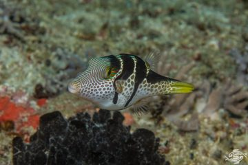 black saddled toby (Canthigaster Valentini) also known as the saddled toby and valentini's sharp nose puffer