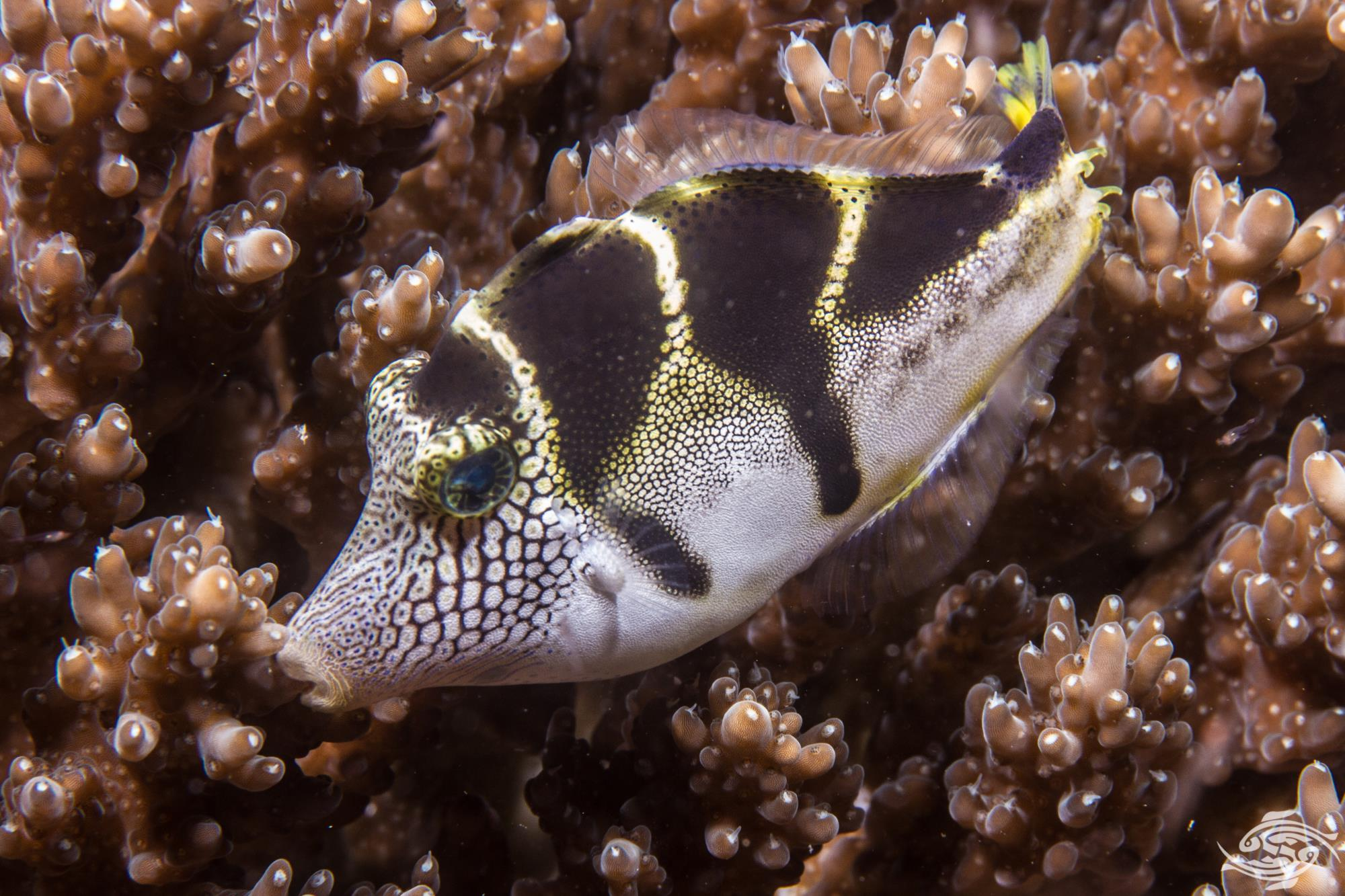 mimick filefish or black saddled filefish (Paraluteres prionurus)