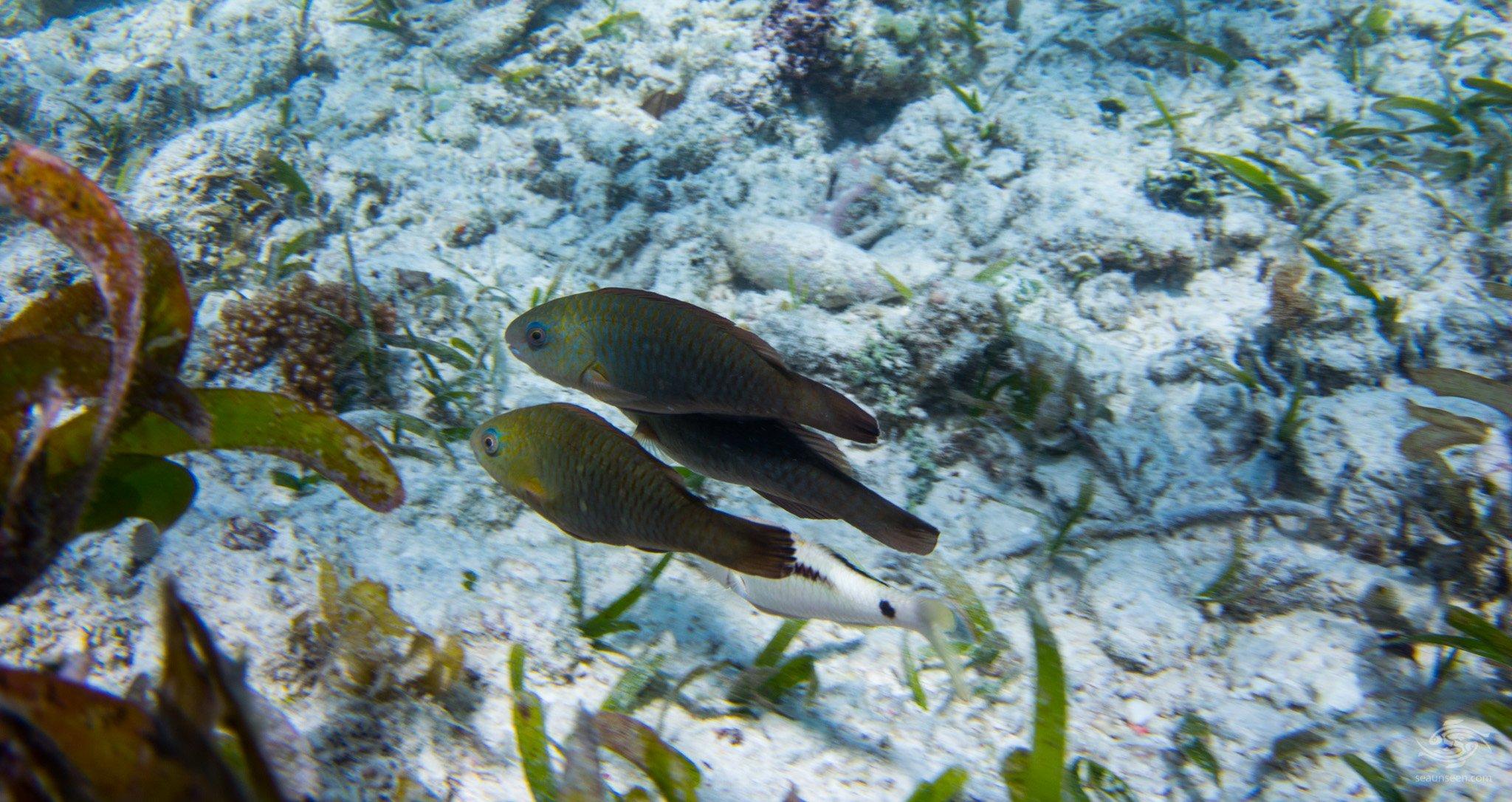 Juvenile Parrot Fish