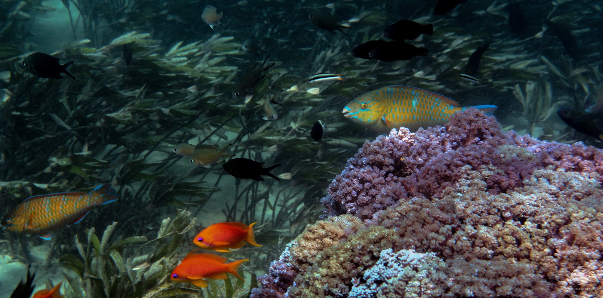 Parrot Fish-5
