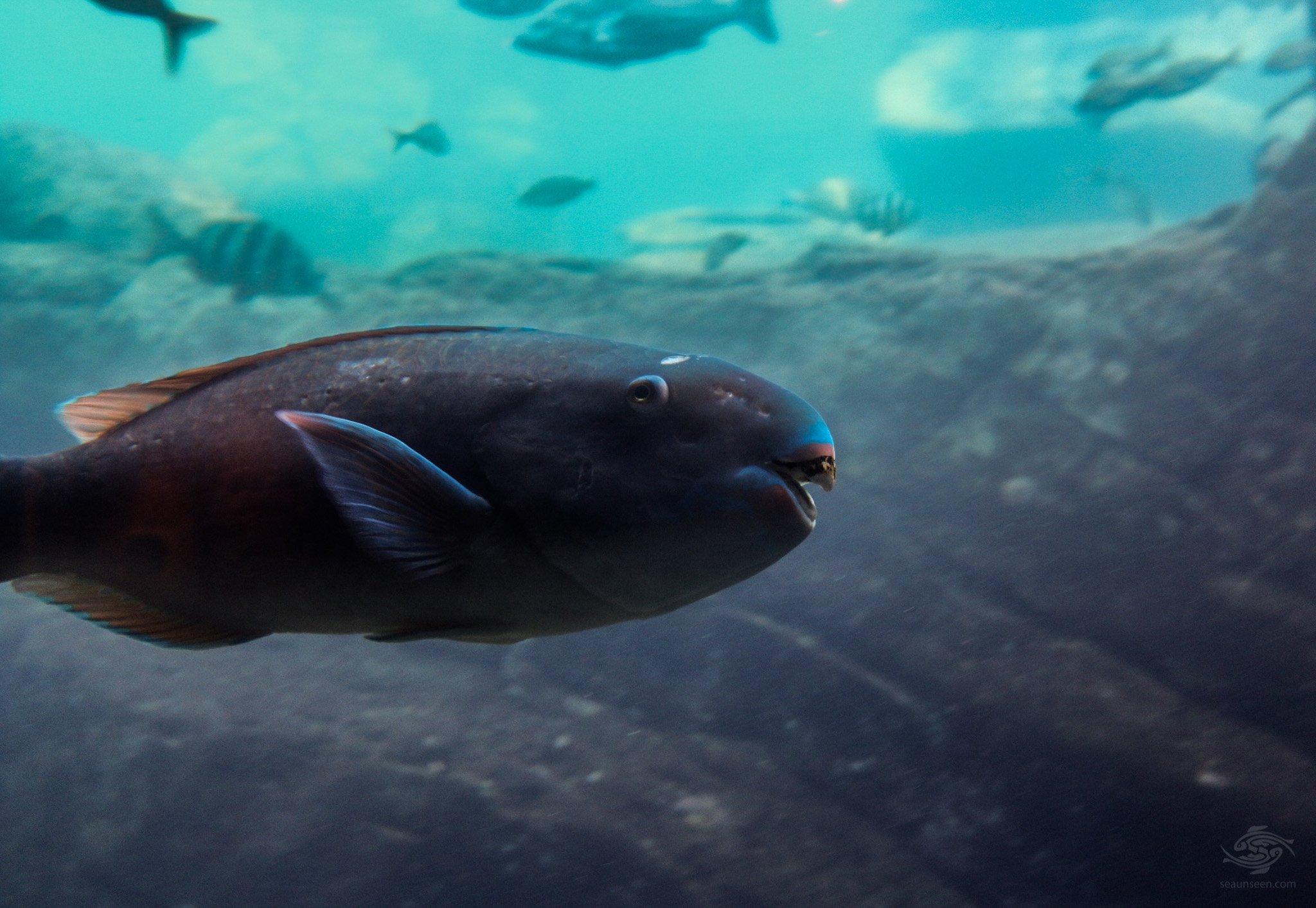 Parrot Fish-swm