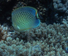 Peppered Butterfly Fish