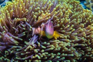 Skunk clownfish or nosestripe anemonefish Amphiprion akallopisos Tanzania 1