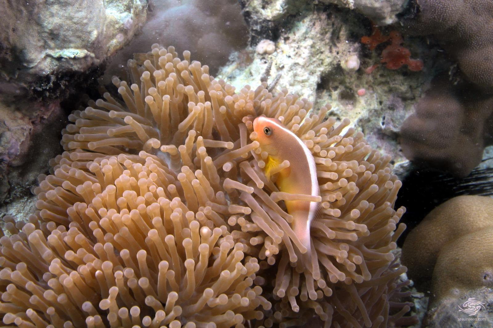 Skunk clownfish or nosestripe anemonefish Amphiprion akallopisos Tanzania 4