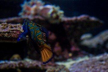 Mandarinfish-nwm