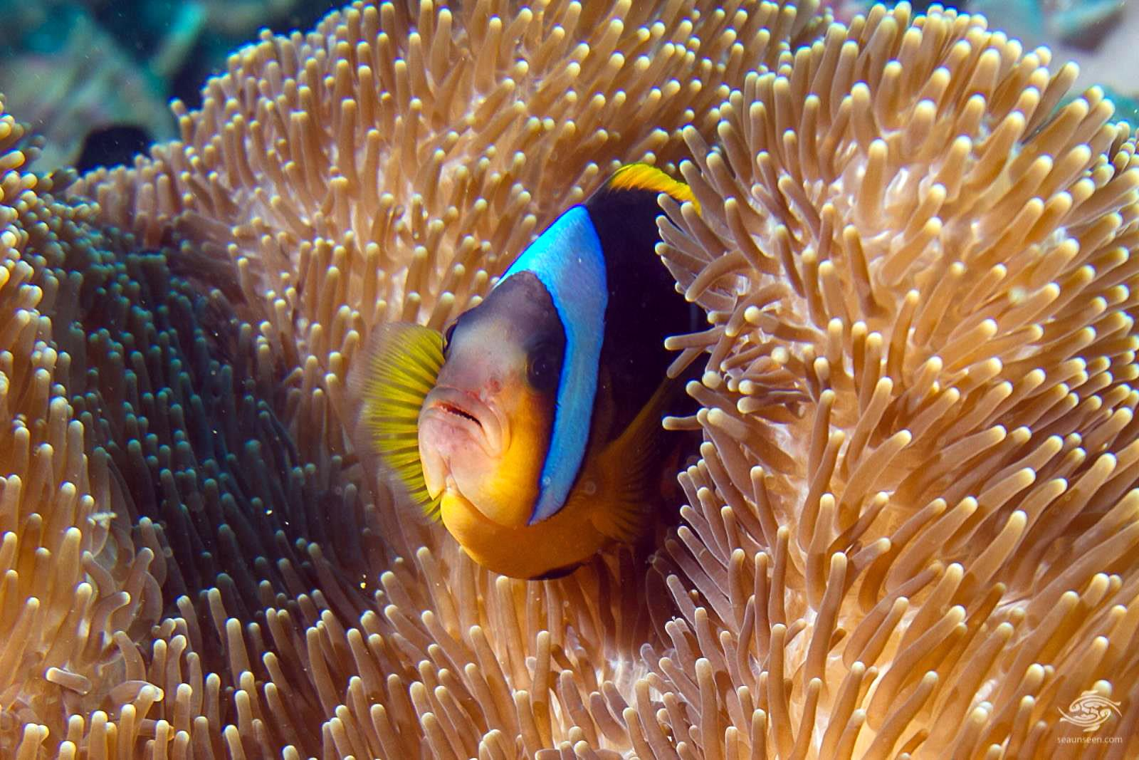 An Allards Clown fish Amphiprion allardi in Magnificent Anemone on Kankadya patches