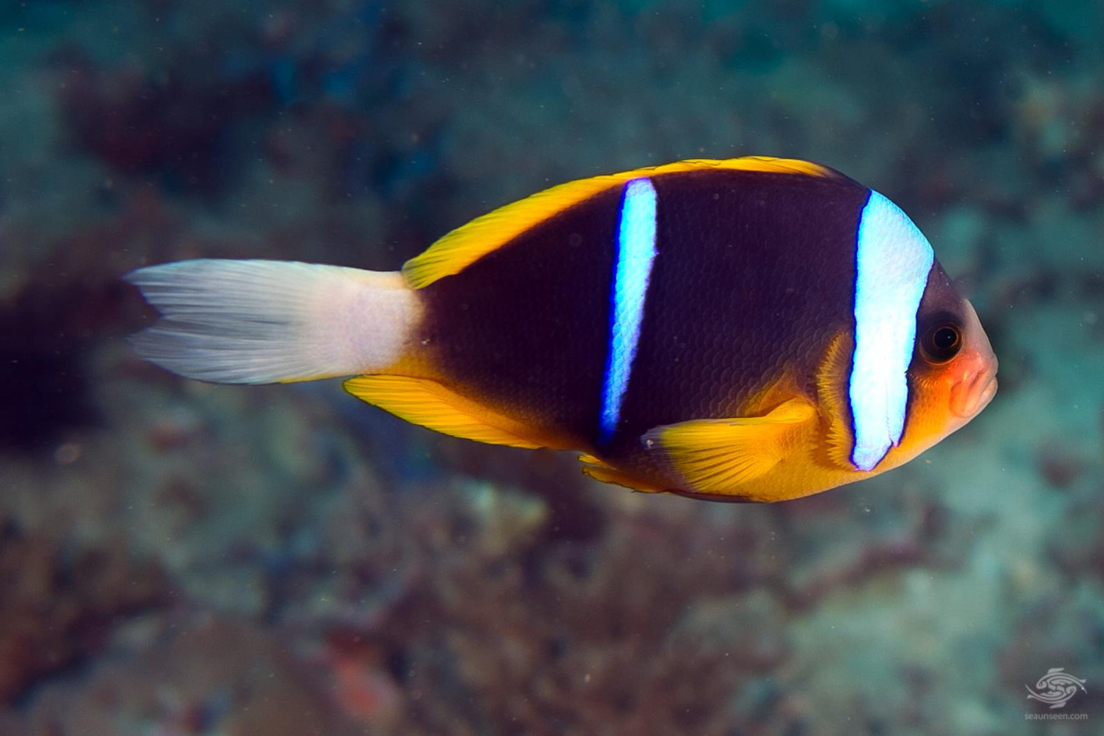 Allard 39 s clownfish facts and photographs seaunseen for Blue clown fish