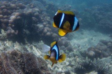 Allard's Clownfish