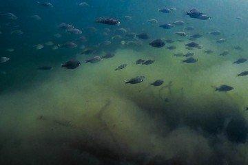 Sunfish Maranacook Lake