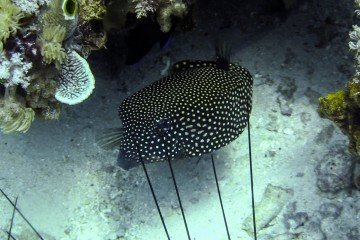 Female White Spotted Boxfish