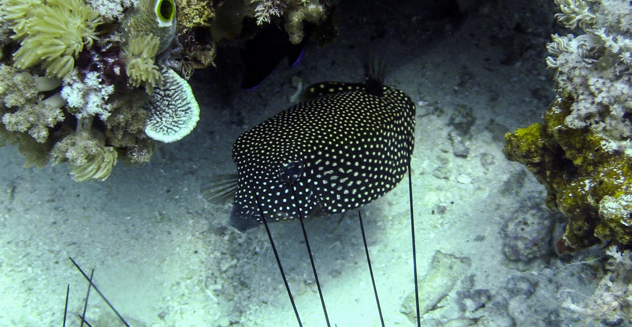 white spotted boxfish (Ostracion meleagris)