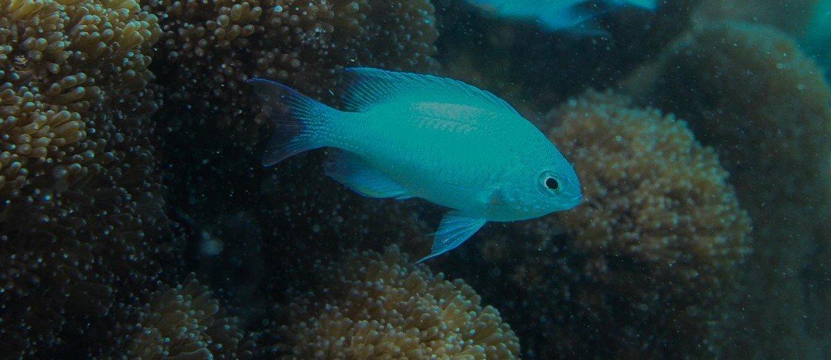 Blue Damsel Chrisiptera glauca