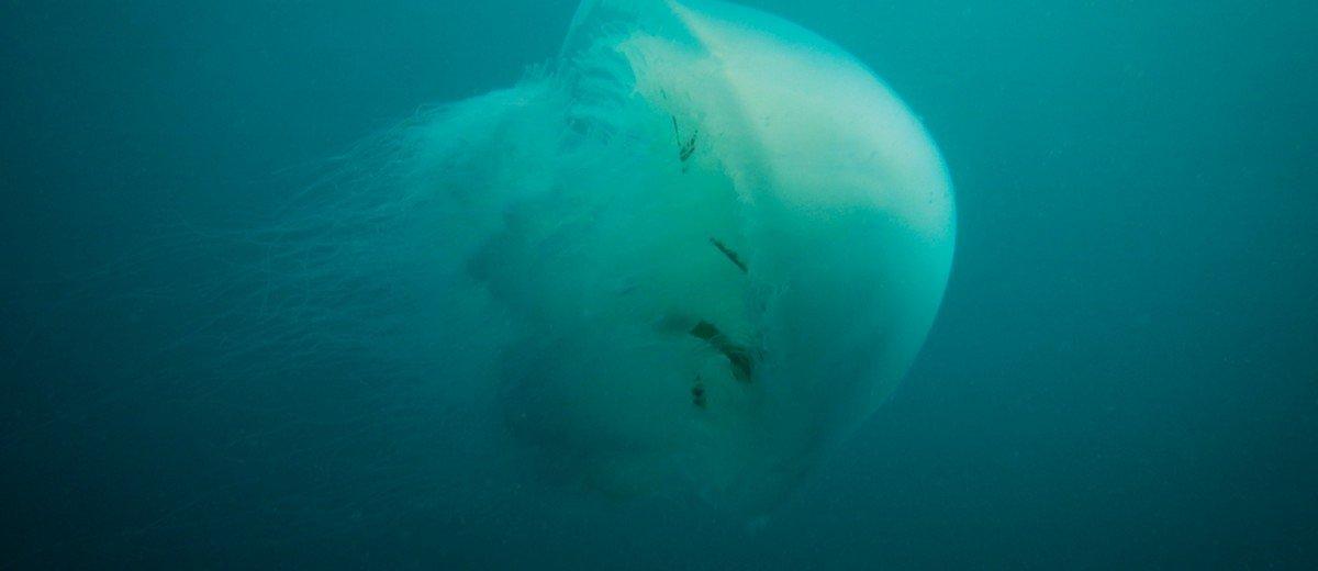 Rhopilema nomadicas Nomad Jellyfish
