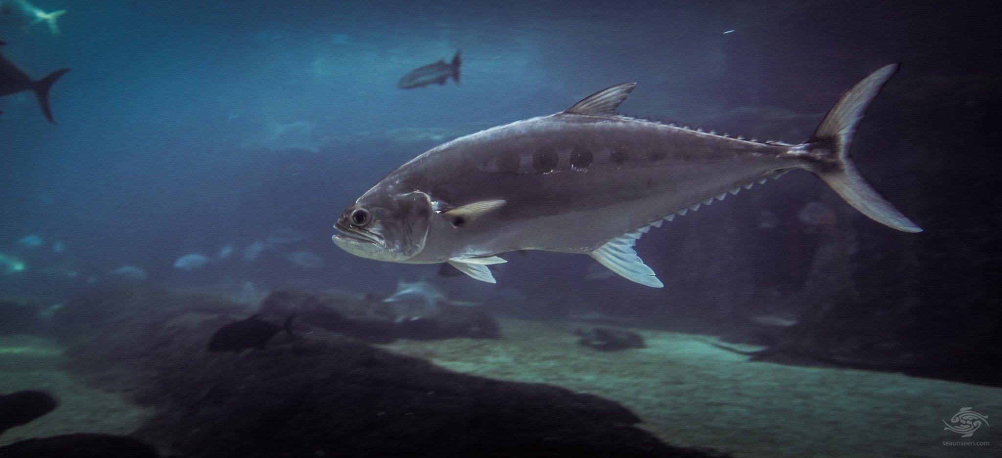Pelagic fish seaunseen for Game fish
