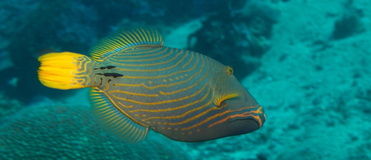 Orangestriped Triggerfish Balistapus undulatus