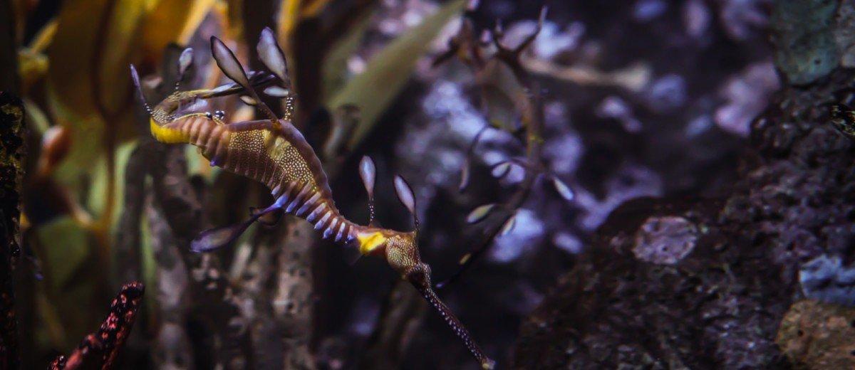 weedy seadragon