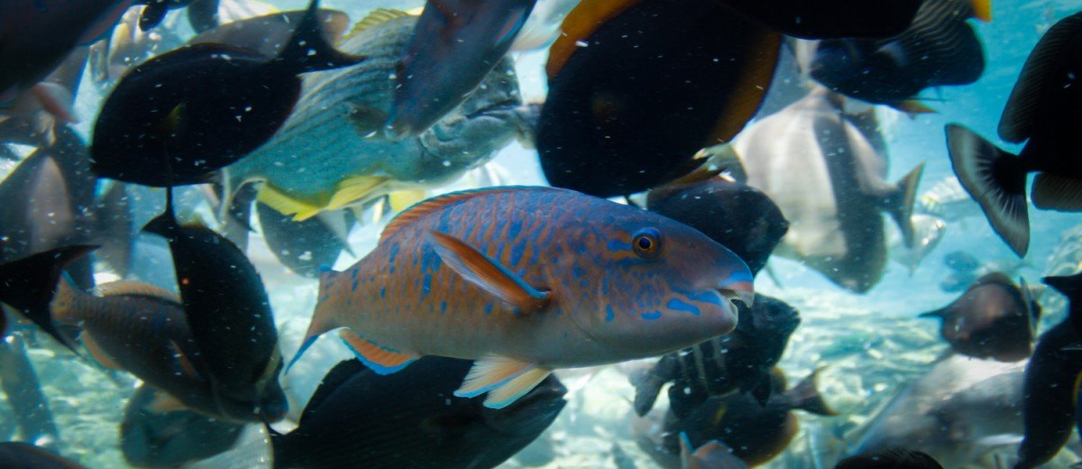 parrotfish feeding