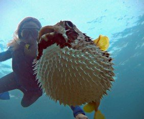 giant puffer fish puffed up - photo #3