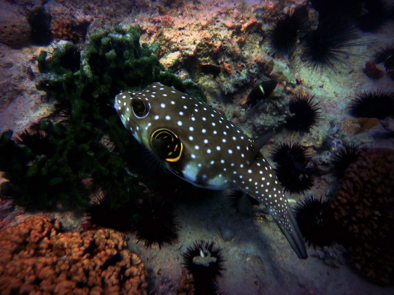 Pufferfish seaunseen for What is a puffer fish