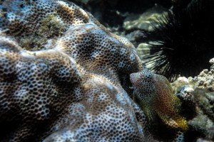 Leopard Blenny (Exallias brevis)