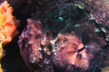 octopus macropus