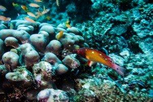 Red Diana Hogfish (Bodianus diana)
